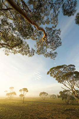 Photograph - Eucalyptus Trees And Bright Morning by Eastcott Momatiuk