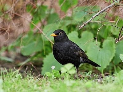 Jouko Lehto Royalty-Free and Rights-Managed Images - Eurasian Blackbird under the bushes by Jouko Lehto