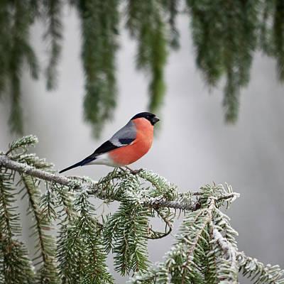 Jouko Lehto Royalty-Free and Rights-Managed Images - Eurasian bullfinch when the winter comes by Jouko Lehto