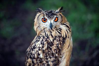 Eagle Photograph - Eurasian Eagle-owl Bubo Bubo by Marcin Rozpedowski