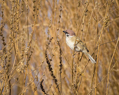 Photograph - Eurasian Tree Sparrow Zhangye Wetland Park Gansu China by Adam Rainoff