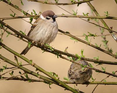 Photograph - Eurasian Tree Sparrows Zhangye Wetland Park Gansu China by Adam Rainoff
