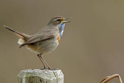 Owls - European birds... singing Bluethroat by Ralf Kistowski