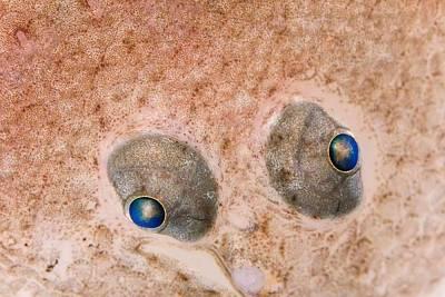 Flounder Painting -  European Flounder Eyes  Fish Is Approximately Nine Centimeters  Helgoland  Germany    by Ingo Arndt