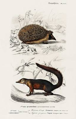 Lucille Ball - European Hedgehog  Erinaceus Europaeus  and Common Treeshrew  Tupaia Glis  illustrated by Charles De by Celestial Images