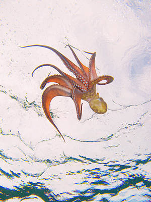 Photograph - European Octopus by Alex Bramwell