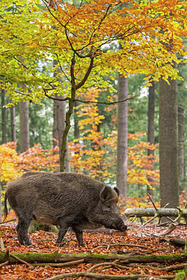 Photograph - European Wild Boar by Arterra Picture Library