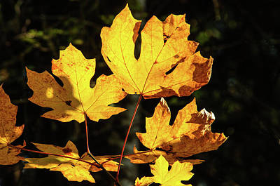 Photograph - Evening Autumn Maple Light by Tikvah's Hope