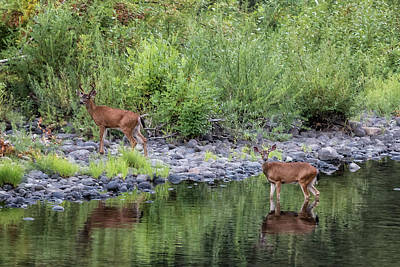 Photograph - Evening Visit From Deer by Belinda Greb