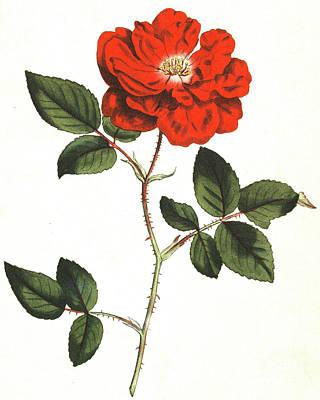 Painting - Ever Flowering Rose, Rosa Semperflorens by English School