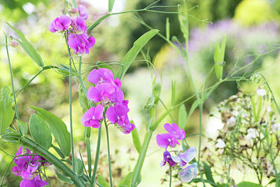 Photograph - Everlasting Pea Flowers by Tim Gainey