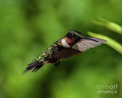 Hollywood Style - Everything That Glitters Is Not Gold - Ruby-throated Hummingbird  by Cindy Treger