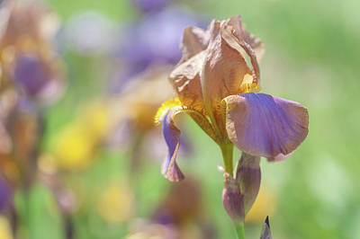 Photograph - Evolution 1. The Beauty Of Irises by Jenny Rainbow