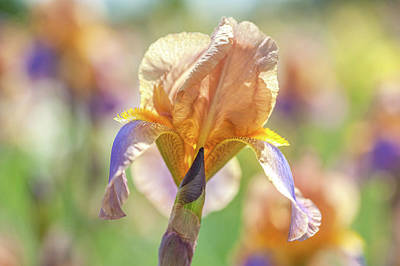 Photograph - Evolution. The Beauty Of Irises by Jenny Rainbow