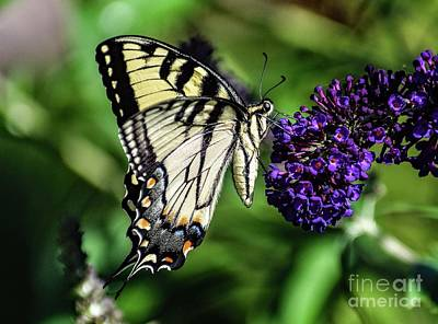 Animals Royalty-Free and Rights-Managed Images - Exceptional Beauty Of An Eastern Tiger Swallowtail by Cindy Treger