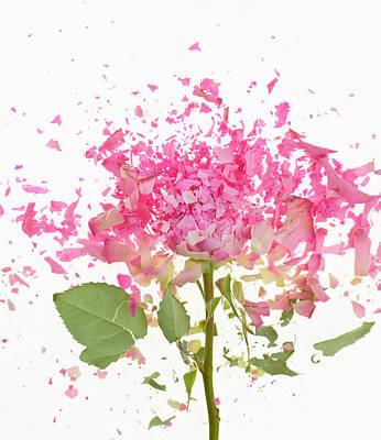 Fragility Photograph - Exploding Pink Rose by Don Farrall