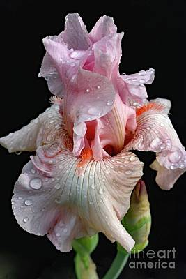 Vintage Buick - Extraordinary Pink Bearded Iris by Cindy Treger