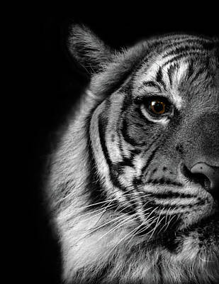 Photograph - Eye of the Tiger by K Pegg