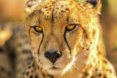 Photograph - Face Cheetah Portrait by Benny Marty