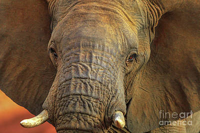 Photograph - Face Of African Elephant by Benny Marty