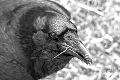 Photograph - Face Of The Raven Black And White by Adam Jewell
