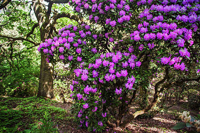 Photograph - Fairy Woods Of Blooming Rhododendrons 1 by Jenny Rainbow
