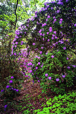 Photograph - Fairy Woods Of Blooming Rhododendrons 3 by Jenny Rainbow