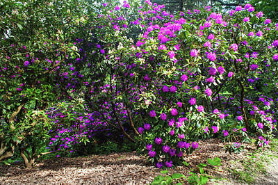 Photograph - Fairy Woods Of Blooming Rhododendrons 4 by Jenny Rainbow