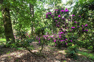 Photograph - Fairy Woods Of Blooming Rhododendrons 5 by Jenny Rainbow