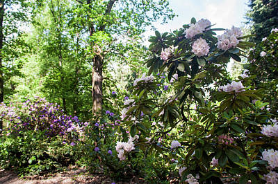 Photograph - Fairy Woods Of Blooming Rhododendrons 7  by Jenny Rainbow