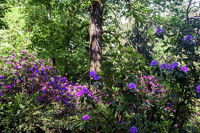 Photograph - Fairy Woods Of Blooming Rhododendrons 8 by Jenny Rainbow