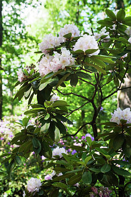 Photograph - Fairy Woods Of Blooming Rhododendrons 9 by Jenny Rainbow
