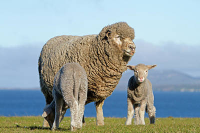 Animal Family Photograph - Falkland Islands, Pebble Island by Cordier Sylvain / Hemis.fr