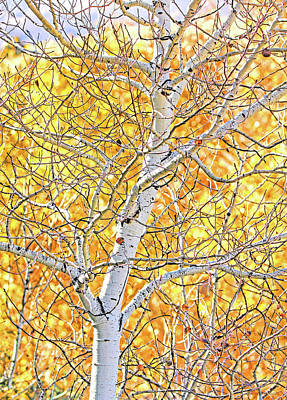 Photograph - Fall Aspen Tree by Jennie Marie Schell