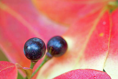 Fall Berries Art Print by Steven Dillon