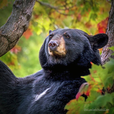 Photograph - Fall Black Bear by LeeAnn McLaneGoetz McLaneGoetzStudioLLCcom