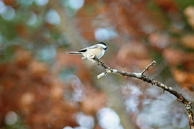 Art Print featuring the photograph Fall Chickadee by Sue Collura