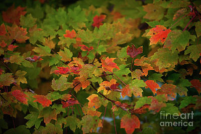 Photograph - Fall Color - Maple Tree by Dale Powell