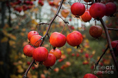 Photograph - Fall Crabapple  by Michael Cross