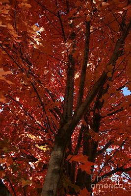 Photograph - Fall Maple by TJ Fox