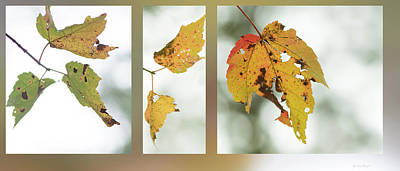 Photograph - Fall Maples by Karen Rispin