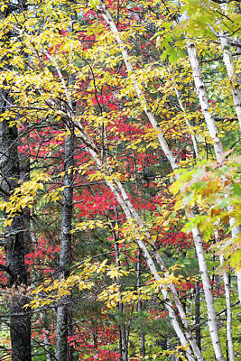 Photograph - Fall Red And Yellow Birch 10091501 by Rick Veldman