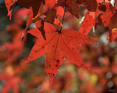 Photograph - Fall Sweetgum Leaves Df002 by Gerry Gantt