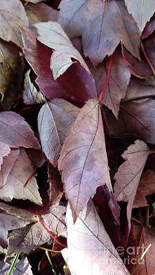 Photograph - Fallen Maple Leaves by TJ Fox