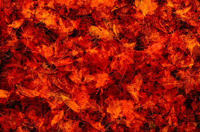 Photograph - Fallen Red Maple Acer Sp. Leaves by Eastcott Momatiuk