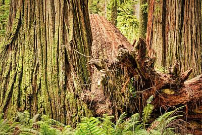 Photograph - Fallen Redwood Tree Sandwich by Stuart Litoff