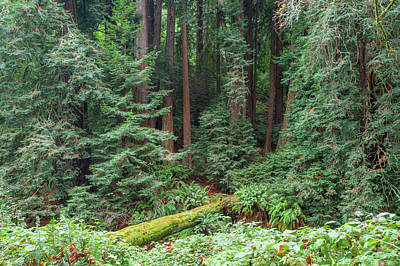 Photograph - Fallen Redwood With Moss by Mark Duehmig