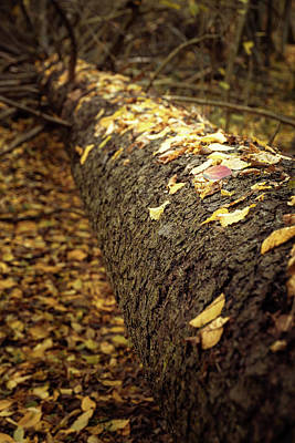 Photograph - Fallen tree in autumn, Bialowieza Forest by Robert Pastryk