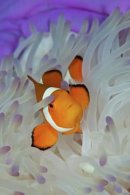 Photograph - False Eastern Clown Anemonefish by Jones/shimlock-secret Sea Visions