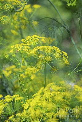 Photograph - False Fennel In Flower by Tim Gainey